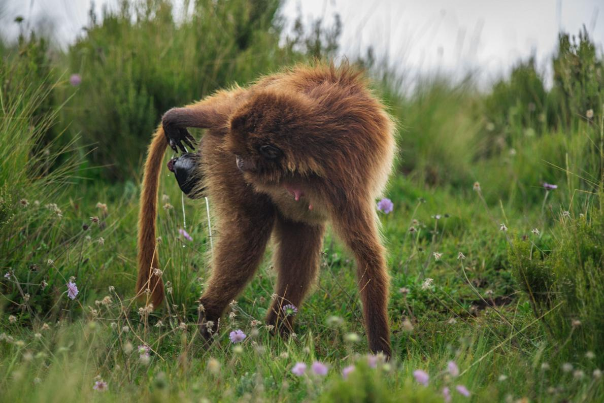ลิงออกลูก