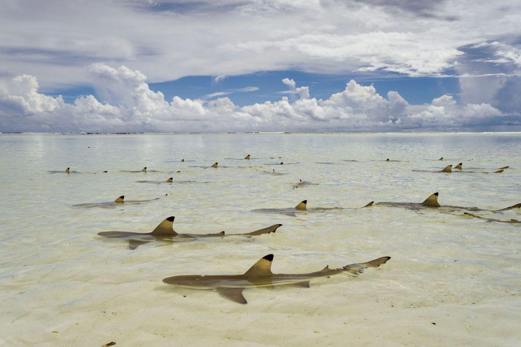 เกาะเซเชลส์, ฉลามครีบดำ หรือฉลามหูดำ