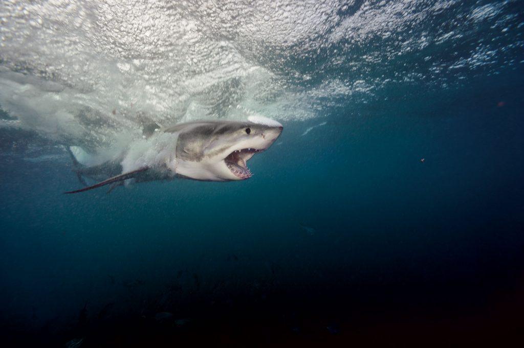 ฉลามขาว