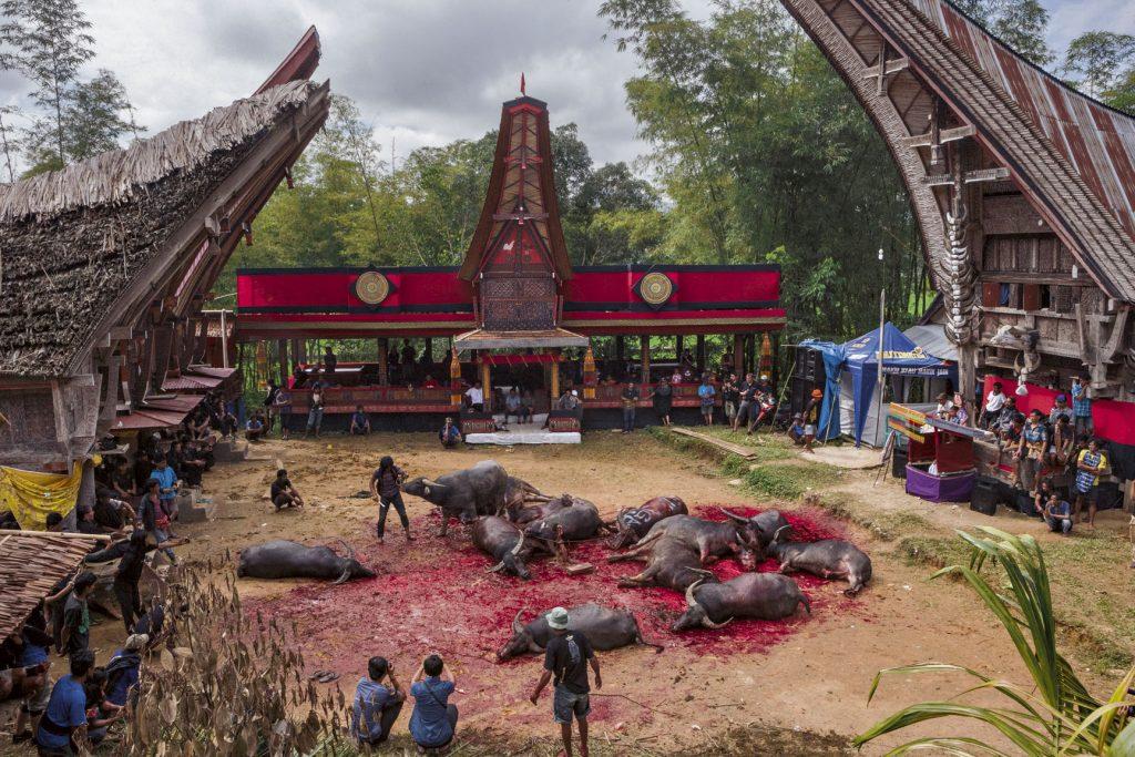 การฆ่าควายเซ่นสังเวยในพิธีศพของชาวโตราจา อินโดนีเซีย