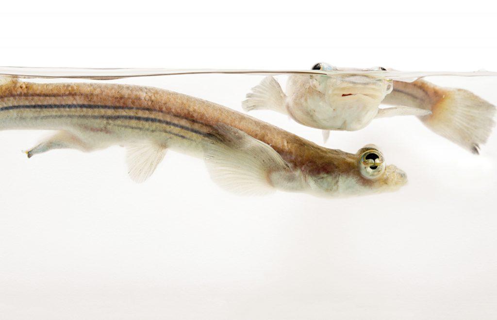 ปลาสี่ตา