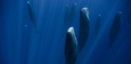 วาฬสเปิร์ม