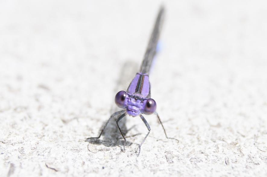 แมลงปอเข็ม