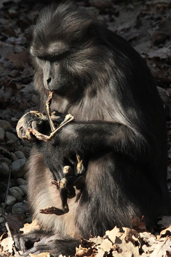 แม่ลิง