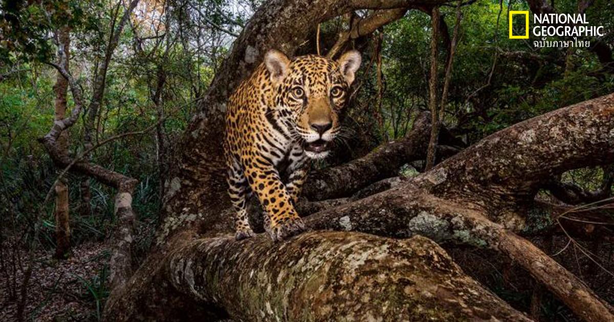 เสือจากัวร์