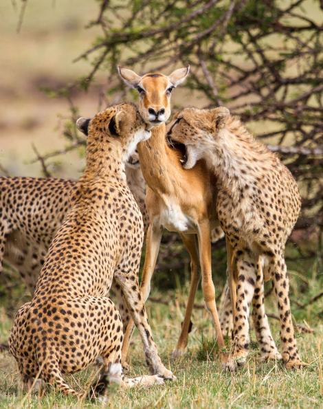 ภาพถ่ายเสือชีตาห์