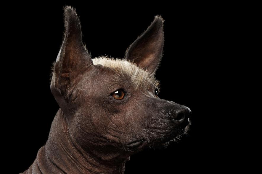 สุนัขขนเกรียนเม็กซิกัน