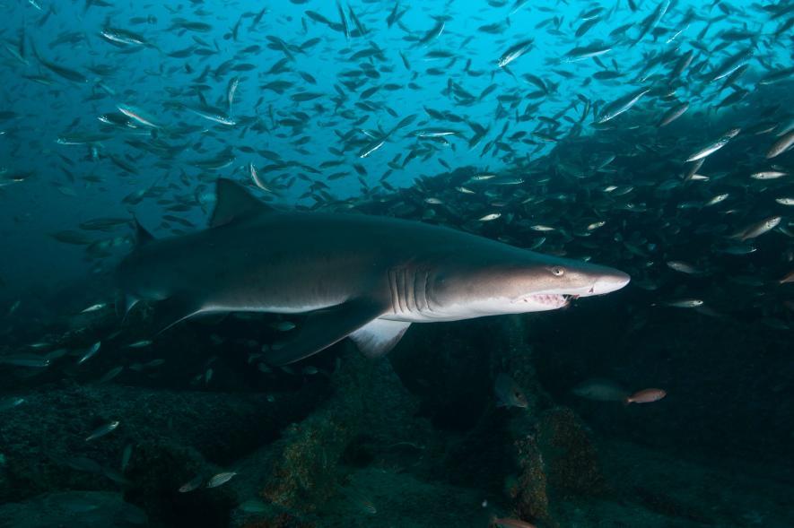 ฉลามเสือทราย