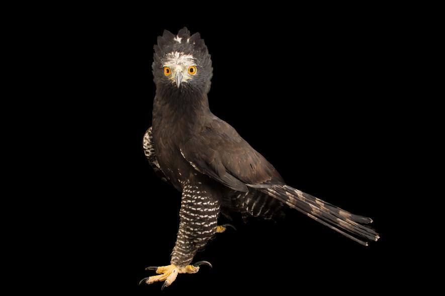 นกอินทรีเขตร้อน black hawk-eagle