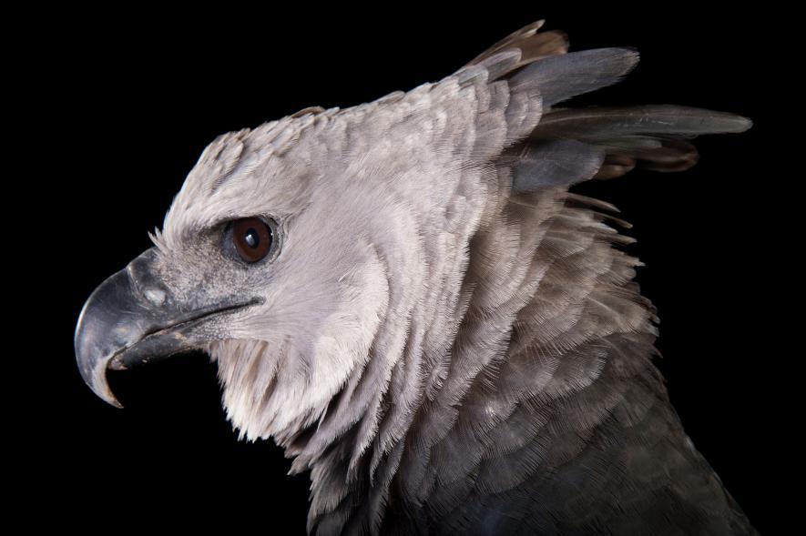 นกอินทรีฮาร์ปี