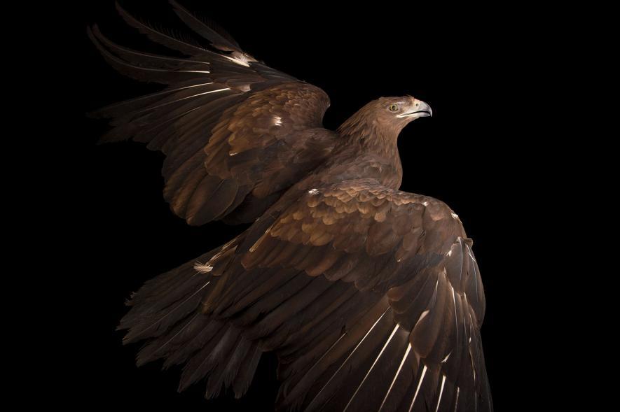 นกอินทรีปีกลาย