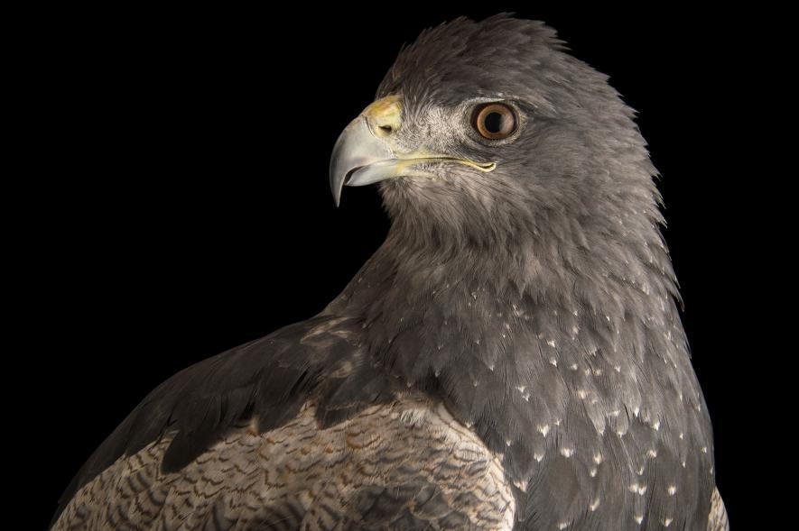 นกอินทรี Black chested buzzard