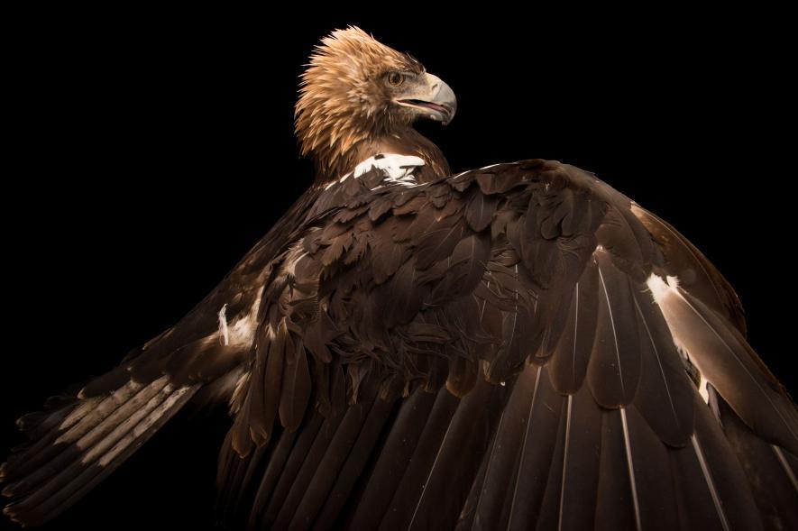 นกอินทรี Spanish imperial