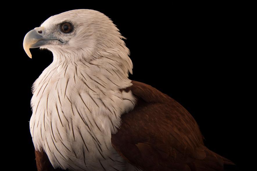 เหยี่ยวแดง นกอินทรีที่มีปีกขนาดใหญ่