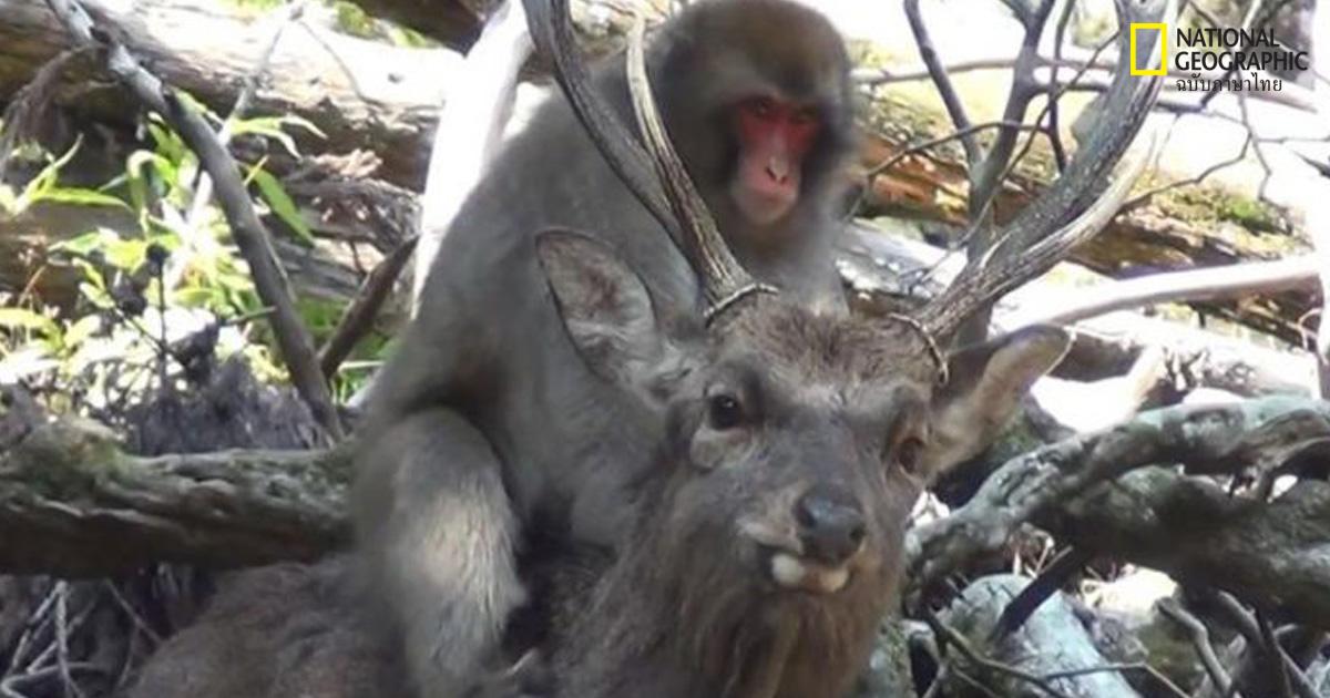 ลิงกัง