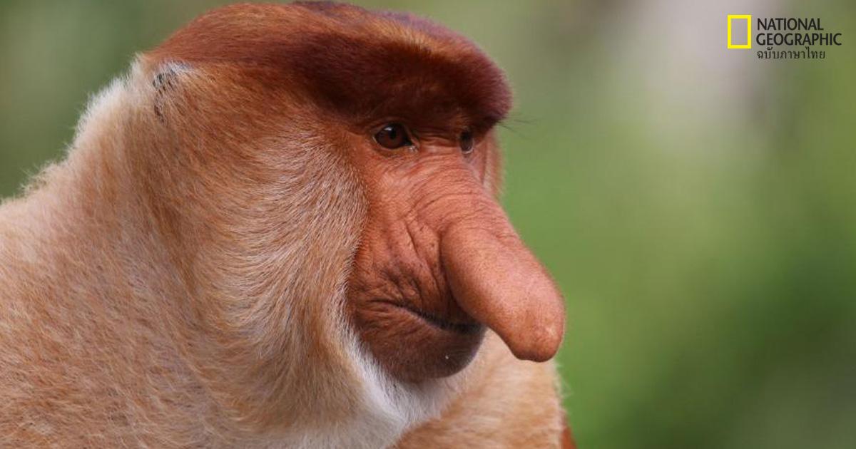 ลิงจมูกงวง