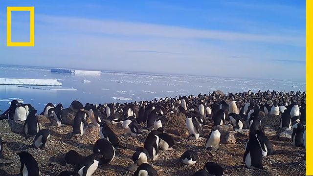 เพนกวินอาเดลี