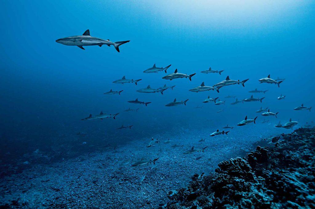 ฉลามดุ