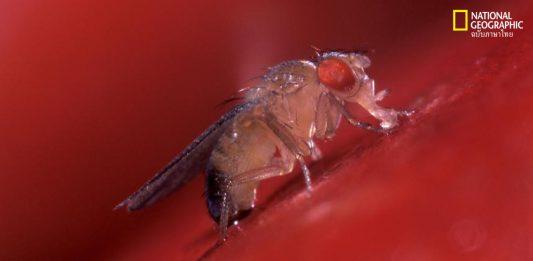 แมลงวันผลไม้