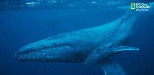 ฟอสซิลของวาฬ