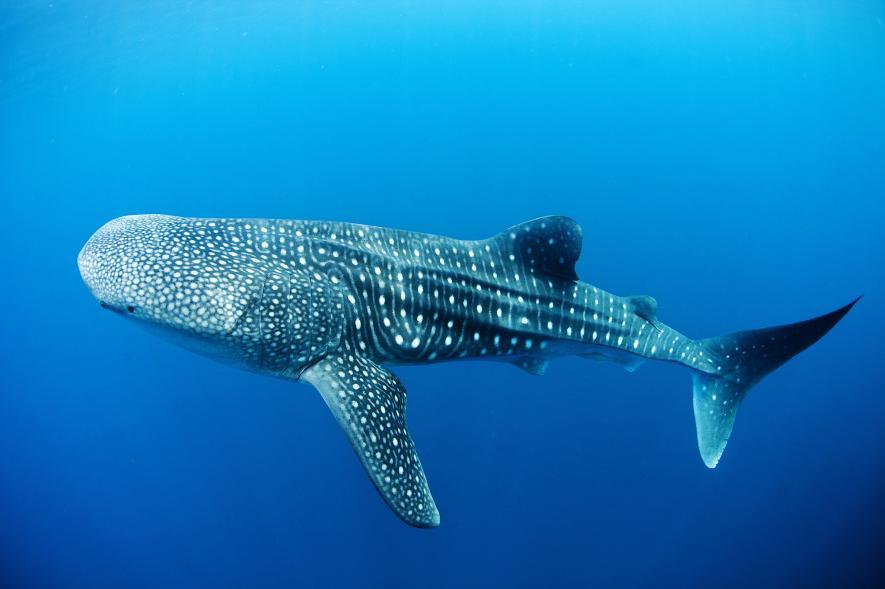 ฉลามวาฬ