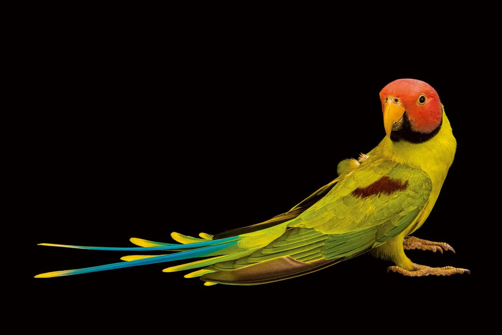 นกแก้ว