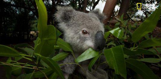 หมีโคอาลา