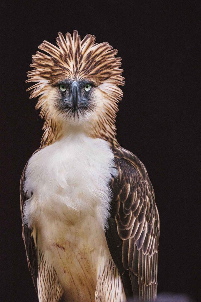 นกใกล้สูญพันธุ์ นกอินทรีฟิลิปปินส์