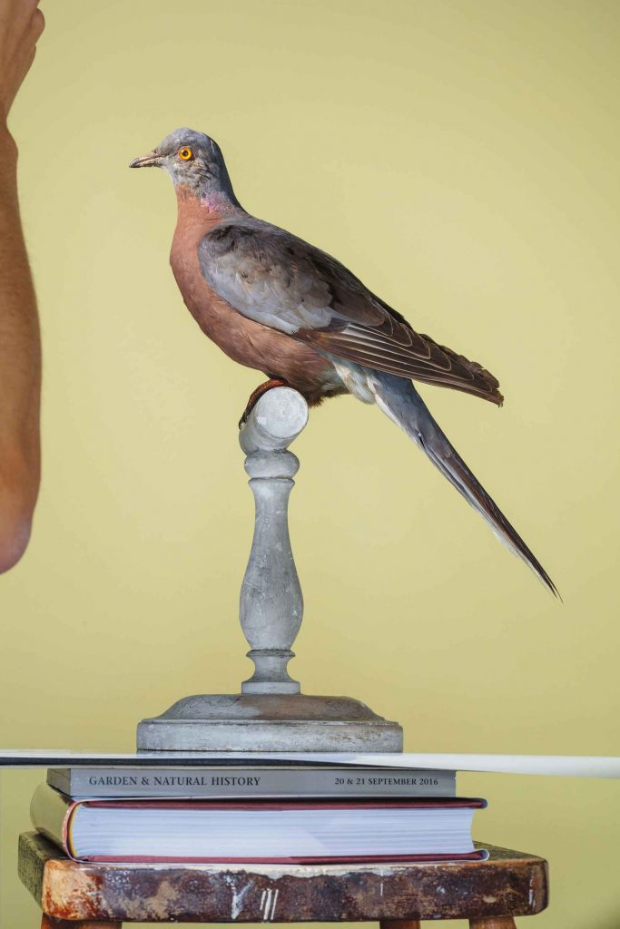 นกใกล้สูญพันธุ์ นกพิราบแมสเซนเจอร์