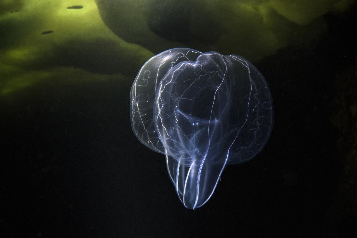หวีวุ้น (Mnemiopsis ctenophore)