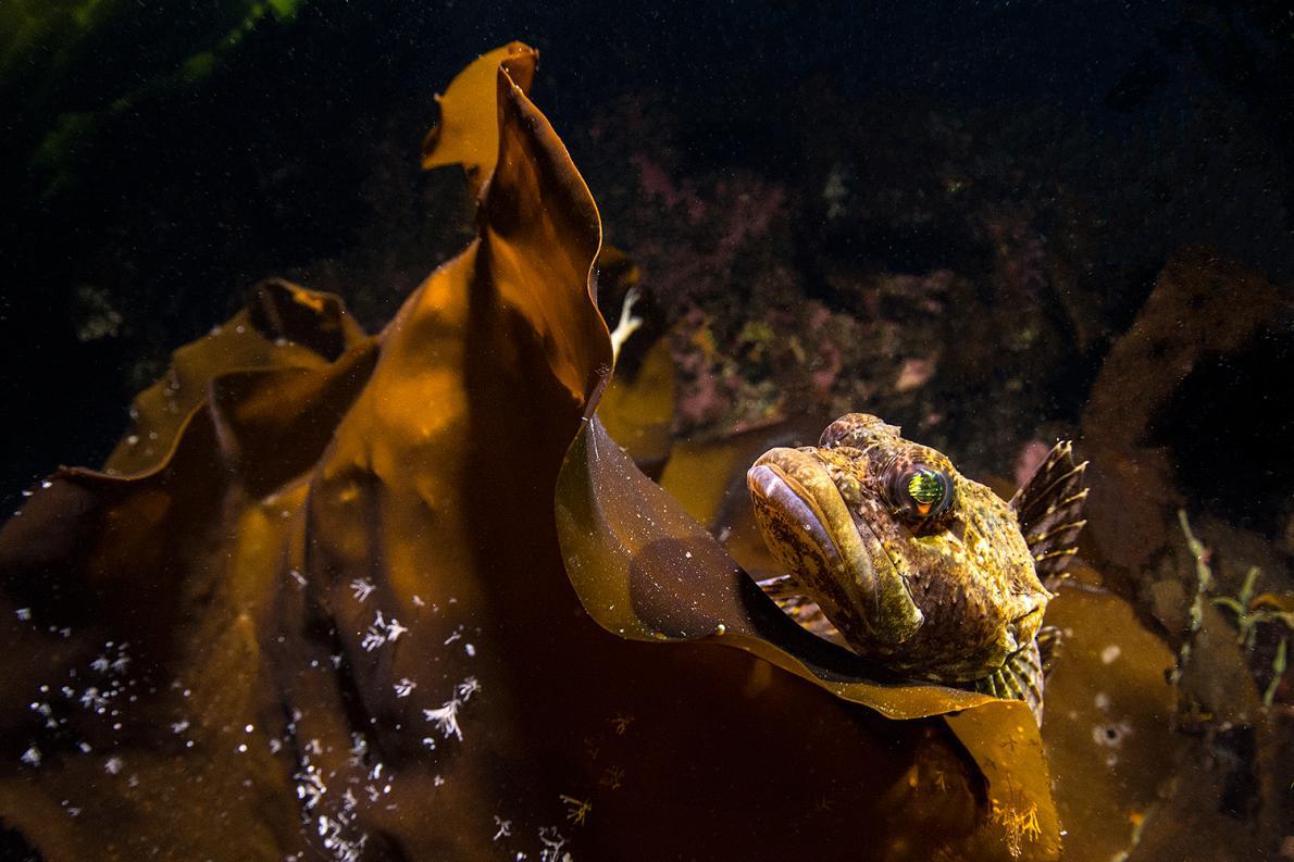 Myoxocephalus scorpius ปลาในวงศ์ปลาแมงป่อง