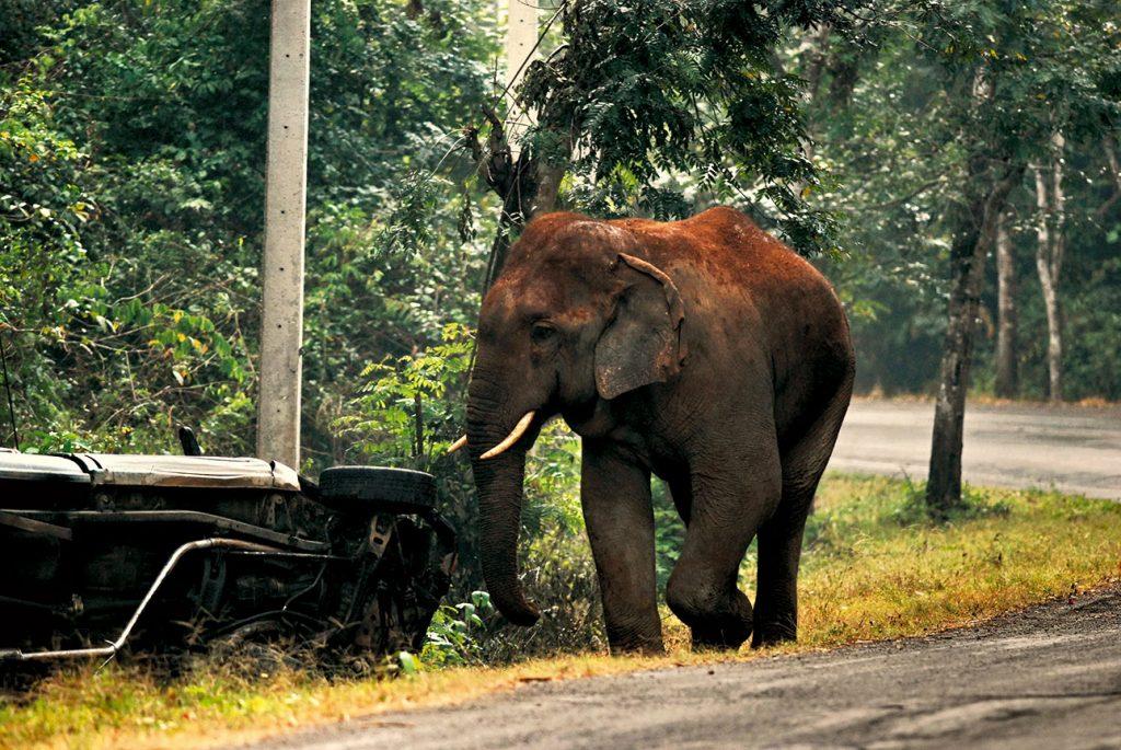 ช้างป่า. ช้างเดินถนน. ถนนตัดผ่านป่า