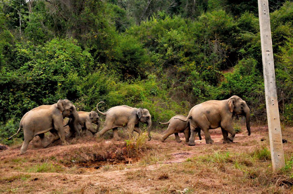 โขลงช้าง, ช้างป่า, ป่าละอู, หัวหิน