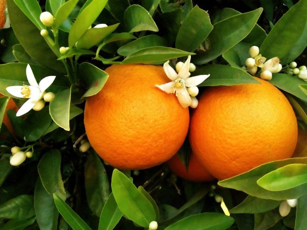 ผลเดี่ยว, ผลส้ม, การเกิดผลและเมล็ด, ส่วนประของผล