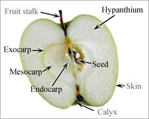 แอปเปิ้ล, การเกิดผลและเมล็ด, โครงสร้างของผล