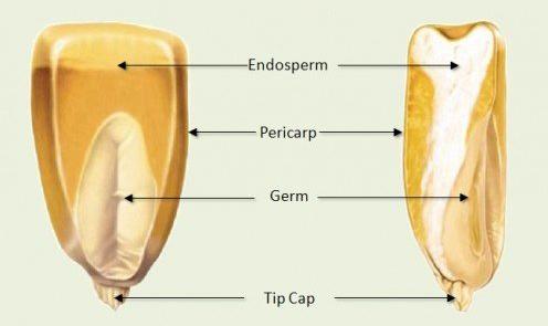 เพอริคาร์ป, Pericarp, การเกิดผลและเมล็ด, เมล็ดข้าวโพด