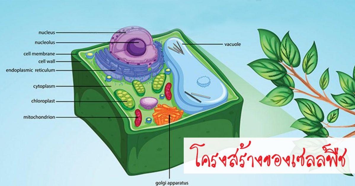 เซลล์พืช, เซลล์, องค์ประกอบของเซลล์, เครงสร้างของเซลล์ โครงสร้างเซลล์พืช