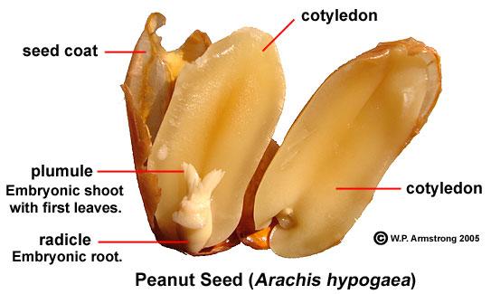 การเกิดผลและเมล็ด, โครสร้างของเมล็ดพืช, เมล็ดพืช,