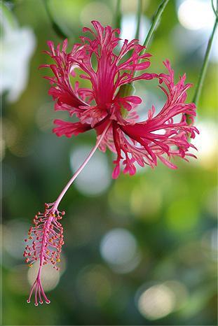 ดอกสมบูรณ์เพศ, ดอกพู่ระหง, ชนิดของดอกไม้