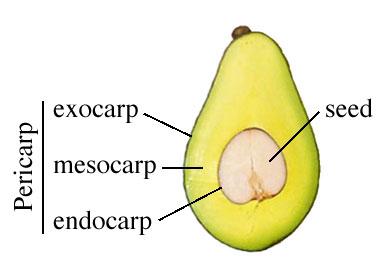 เพอริ๕าร์ป, ผลไม้, กาารเกิดผลและเมล็ด, ส่วนประกอบของผล