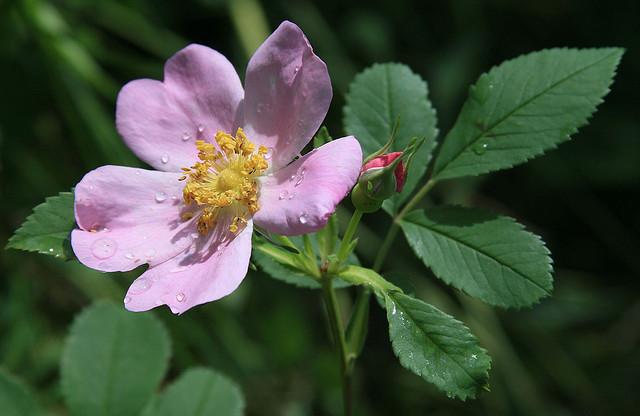 ดอกกุหลาบ, กุหลาบป่า, ชนิดของดอกไม้, ดอกครบส่วน