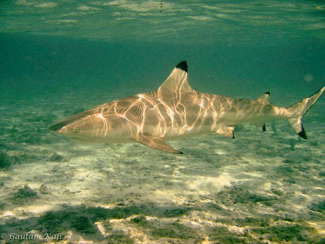 ปลาฉลาม, ฉลามหูดำ, ฉลามครีบดำ, ชายฝั่ง, อ่าวมาหยา, ชายฝั่งน้ำตื้น