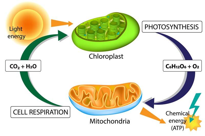 กระบวนการสังเคราะห์แสง, เซลล์พืช, เซลล์, คลอโรพลาสต์