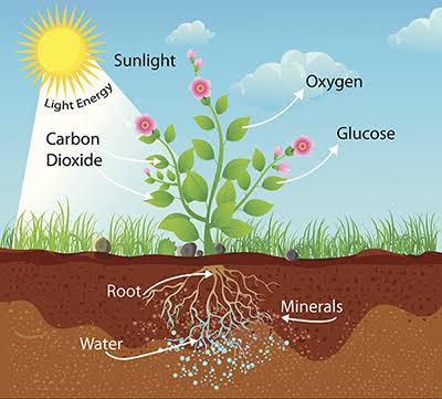 ระบบนิเวศ, กระบวนการสังเคราะห์ด้วยแสง, การสังเคราะห์แสง, การส้รางอาหารของพืช, ปฏิกิริยาแสง
