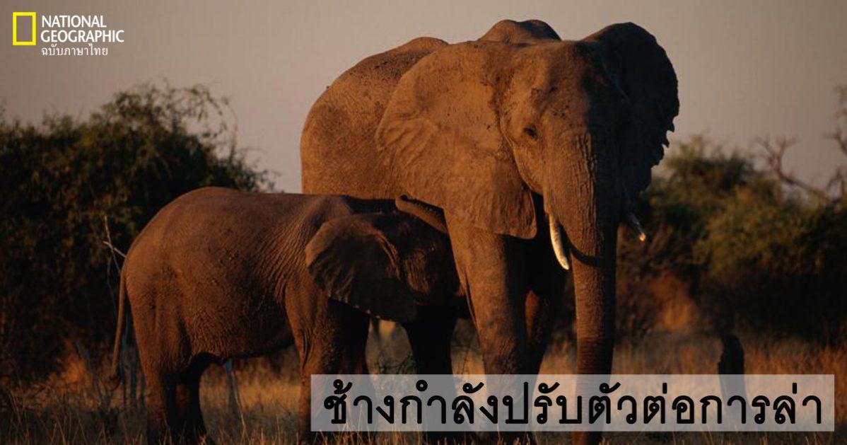 งาช้าง, ช้างแอฟริกา, ช้างเอเชีย, งาช้างไม่งอก, การปรับตัว, การล่า