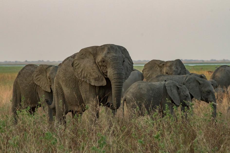 งาช้าง, ช้าง, การล่างาช้าง, ล่างาช้าง