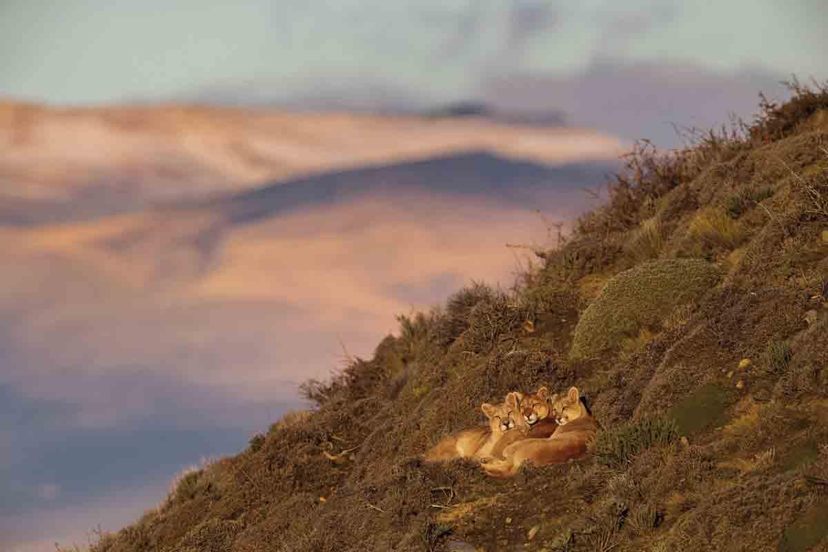 เสือพูม่า