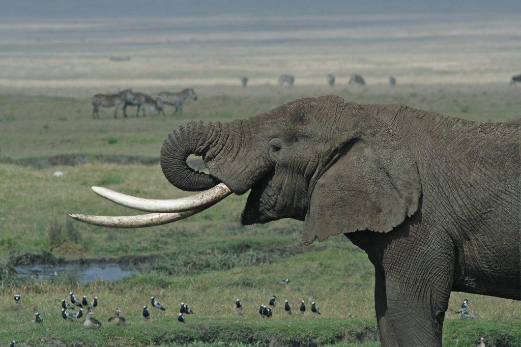 งาช้าง, ช้าง, ล่างาช้าง