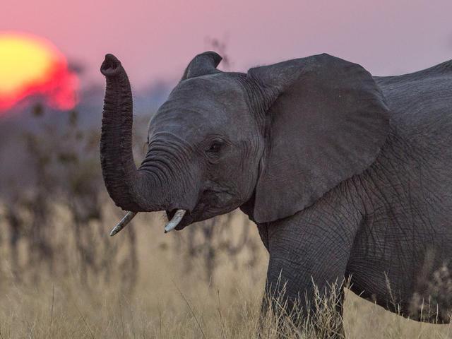 ช้าง, งาช้าง, การล่างาช้าง, ล่างาช้าง