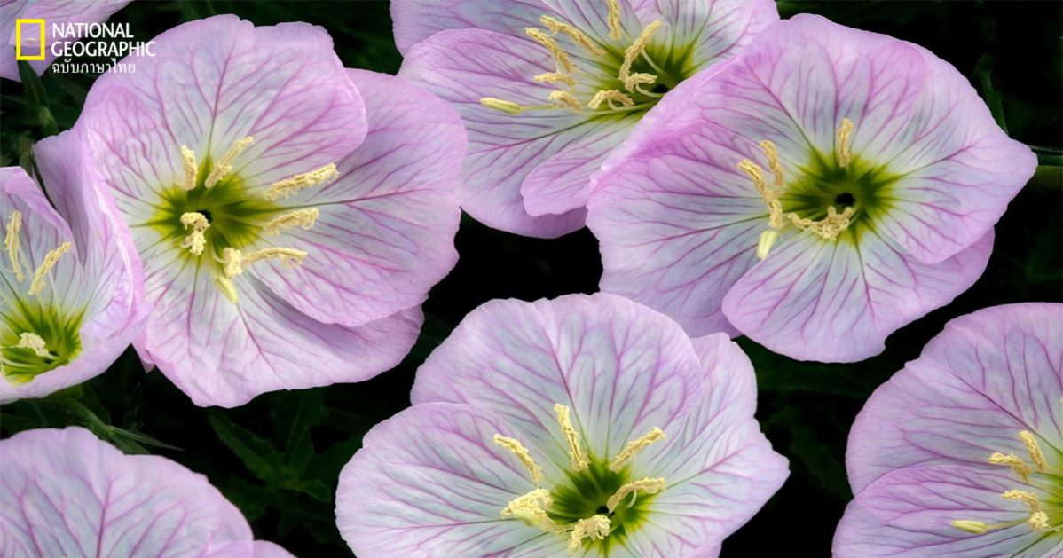 ดอกไม้รับรู้คลื่นเสียงได้, ดอกไม้, อีฟนิิงพรีมโรส